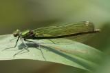 Weidebeekjuffer ,Banded Demoiselle (Calopteryx splendens)