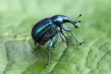 Snuitkevers - Weevils - Curculionoidea