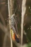 Sprinkhanen - Grasshopper