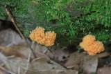 Slijmzwammen - Myxomycetes
