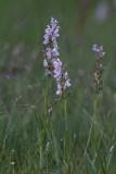 Orchideeënfamilie - Orchidaceae