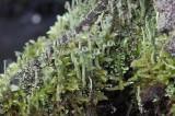 Korstmossen - lichenen / Mossen - Bryophyta