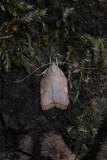 Peleopodidae - Vuurmotten