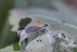 Yponomeuta padel - Meidoornstippelmot