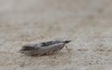Ypsolopha scabrella - Gelijnde spitskopmot