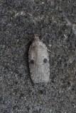 Depressariidae  - Platlijfjes