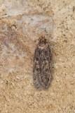 Hofmannophila pseudospretella - Bruine huismot