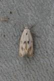 Elachista maculicerusella - Grijsgevlekte grasmineermot