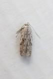 Carpatolechia proximella - Smalpalpmot