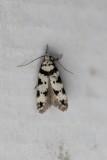 Pseudotelphusa scalella - Pronkpalpmot