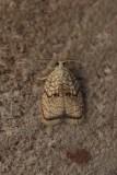 Acleris forsskaleana - Kleine boogbladroller