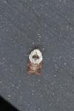 Acleris variegana - Witschouderbladroller