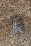 Tortricodes alternella - Voorjaarsbladroller