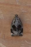 Archips crataegana  - Meidoornbladroller