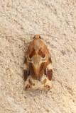 Archips xylosteana - Gevlamde bladroller