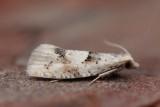 Epinotia bilunana - Witte oogbladroller