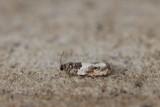 Gypsonoma dealbana - Loofboombladroller