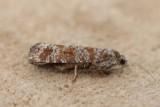 Rhyacionia pinivorana - Grijze dennenlotboorder