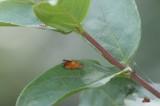 Pammene aurita - Morgenroodbladroller