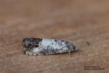 Pammene fasciana - Gewone dwergbladroller