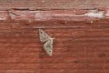 Alucitidae - Waaiermotten