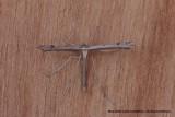 Stenoptilia pneumonanthes - Gentiaanvedermot