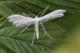 Pterophoridae - Vedermotten