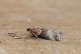 Acrobasis tumidana  - Rode eikekellichtmot