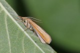 Agriphila tristella - variabele grasmot