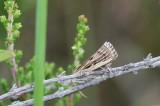 Pediasia fascelinella - Grote grasmot