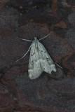 Parapoynx stratiotata - Krabbenscheermot