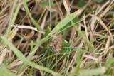 Pyrausta despicata - Weegbreemot