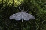 Anania perlucidalis - Donkere coronamot