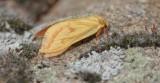 Hepialidae - Wortelboorders