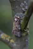 Cossidae - Houtboorders