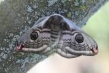 Saturniidae - Nachtpauwogen