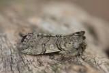 Drepanidae - Eenstaartjes