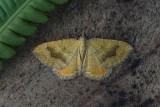 Geometridae - Spanners