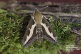 Sphingidae - Pijlstaarten