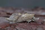 Notodontidae - Tandvlinders