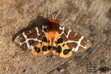 Erebidae - Spinneruilen