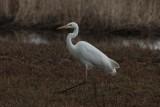 Grote zilverreiger - great white egret - Casmerodius albus