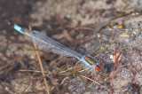 Kleine roodoogjuffer - Small Red-eyed Damselfly  -Erythromma viridulum