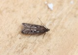 Neofaculta ericetella - Heidepalpmot