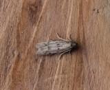 Phycitodes maritima  - Smalle weidemot
