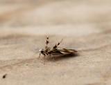 Stathmopodidae - Pootmotten