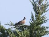 Zomertortel - European turtle dove - Streptopelia turtur