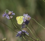 Oranje luzernevlinder- Clouded yellow - Colias croceus