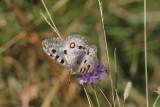 Appolovlinder - Parnassius apollo