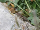 Muurhagedis - Common wall lizard - Podarcis muralis